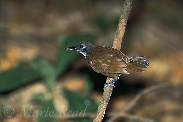 Bicolored Antbird (Gymnopithys leucaspis), insect prey captuered at army ant swarm, Soberania National Park, Panama<br /> Slide # B101-135