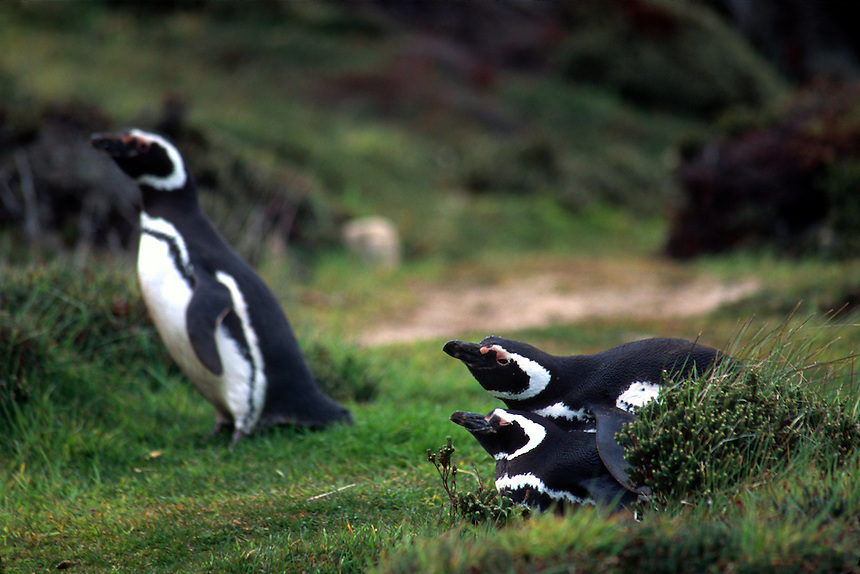 Magellanic penguins mate on the Falkland Islands.