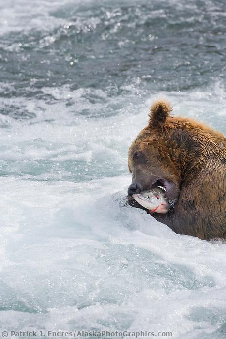 Brown bear feeds on red salmon at the Brooks Falls, Katmai National park, Alaska.