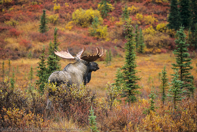 Bull moose, autumn tundra and boreal forest, Denali National Park, Alaska