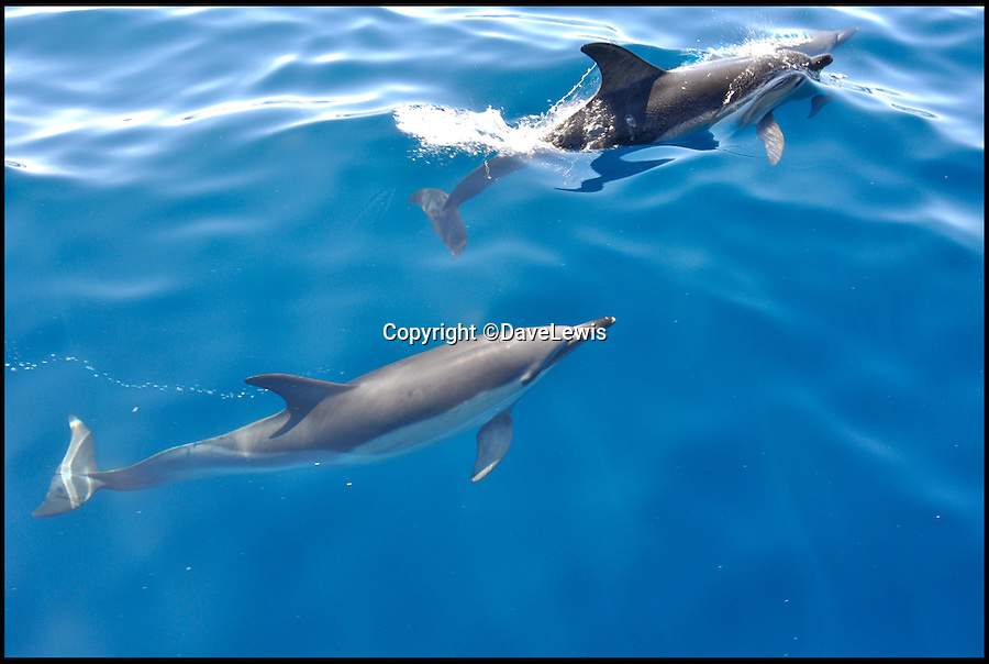 BNPS.co.uk (01202 558833)<br /> Pic: DaveLewis/BNPS<br /> <br /> Malibu? Mauritius? These amazing pictures were actually taken in the crystal clear waters off Milford Haven in Wales...<br /> <br /> A pod of playful dolphins swim through crystal clear turquoise waters in a scene straight out of the Caribbean - but in fact these amazing pictures were taken off the coast of Wales.<br /> <br /> A group of fishermen were returning from a deep-sea trip in the Celtic Sea when to their surprise a pod of around 100 dolphins surfaced close to their boat.<br /> <br /> The inquisitive marine mammals spent an hour swimming around and under the boat as it returned to port at Milford Haven, Pembrokeshire.<br /> <br /> The weather was so good and the seas so calm and clear that the fishermen could see the entire pod as they played around the boat.<br /> <br /> Photographer Dave Lewis grabbed his camera and was able to capture a series of incredible shots on film.<br /> <br /> It is thought the dolphins were common dolphins, which are abundant off the west of the British Isles and are known for their fondness of following boats.