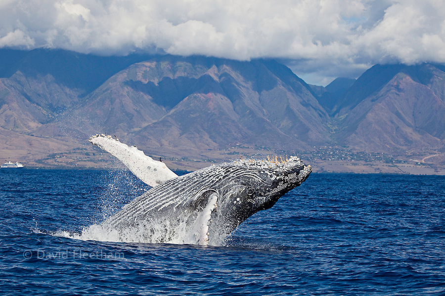 Breaching humpback whale, Megaptera novaeangliae, with the West Maui Mountains in the background, Hawaii.