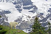 Mountain Goat (Oreamnos americanus).  Northern Rockies.  June.