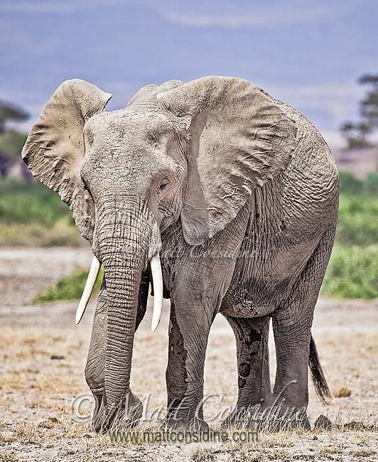 African elephant walking across the plains of Amboseli National Park, Kenya, Africa (photo by Wildlife Photographer Matt Considine)