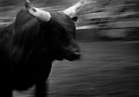 Black & white image of a rodeo - A running bull. United States Rodeo.