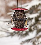 White-breasted Nuthatch (Sitta carolinensis) (left) and Red-breasted Nuthatch  (Sitta canadensis) (right) feeding from sunflower mix feeder (Duncraft Red Sunflower Seed Double Decker feeder, Product # 2963.) in winter with snow-covered conifer in background, New York, USA.