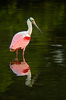Roseate Spoonbill, Ding Darling National Wildlife Refuge, Florida