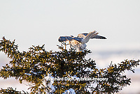 00817-00704 Gyrfalcon (Falco rusticolus) white phase flying from spruce tree Churchill Wildlife Management Area Churchill MB