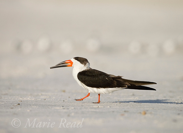 Black Skimmer (Rynchops niger), non-breeding plumage, Fort De Soto Park, Florida, USA