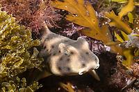 Juvenile Horn Shark, Heterodontus francisci, Anacapa Island, Channel Islands National Marine Sanctuary, California, USA, Pacific Ocean