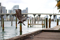 pelican taking off the pier