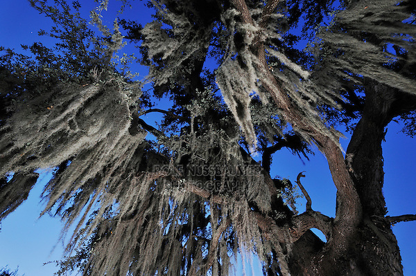 Spanish moss (Tillandsia usneoides), growing on Live Oak tree (Quercus virginiana), Dinero, Lake Corpus Christi, South Texas, USA
