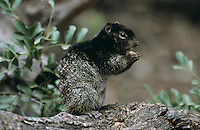 Rock Squirrel, Spermophilus variegatus, adult, Garner State Park, Texas, USA