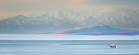 Panorama of polar bear and the Beaufort Sea, Romanzof Mountains of the Brooks Range in the distance. Arctic National Wildlife Refuge, Alaska.