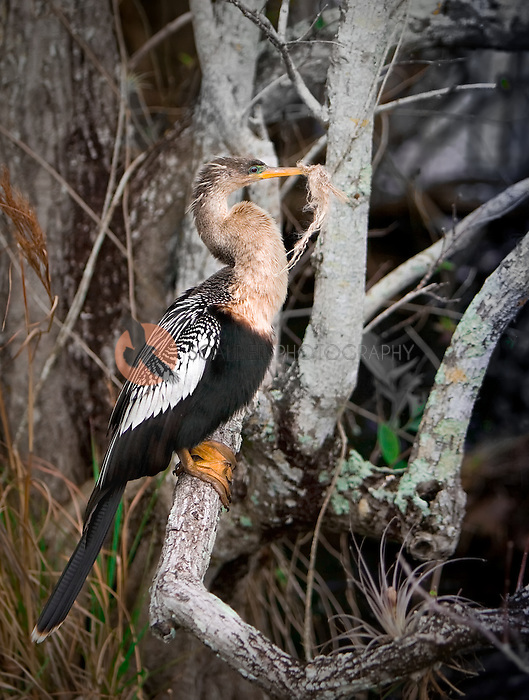 Female Anhinga sitting on a tree branch with nesting material in her mouth