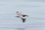 Brown Pelican (Pelecanus occidentalis) gliding over water, Santa Cruz, Monterey Bay, California