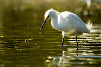 A Snowy Egret fishes for food in the shallows of a lake in Colorado.