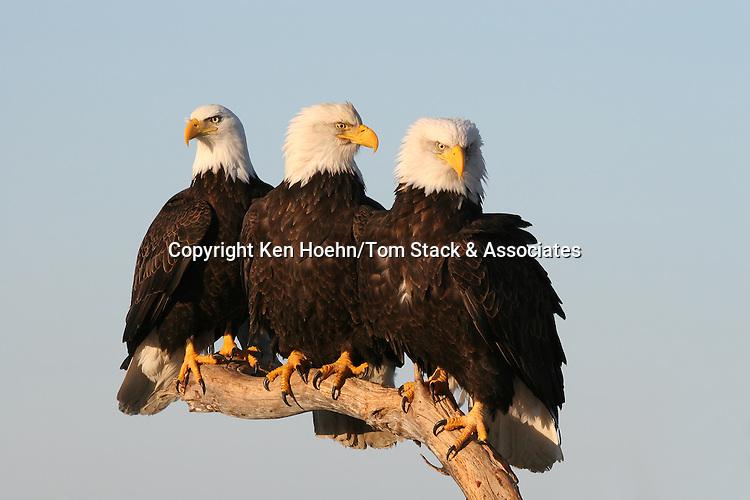 Bald Eagles (Haliaeetus leucocephalus) gather on a single perch, on the lookout for food.  Kenai Peninsula, Alaska