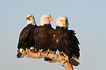 Bald Eagles (Haliaeetus leucocephalus) gather on a single perch, on the lookout for food.  Kenai Peninsula, Alaska