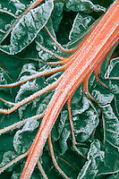 Swiss chard with frost. Garden near Alpine, Oregon