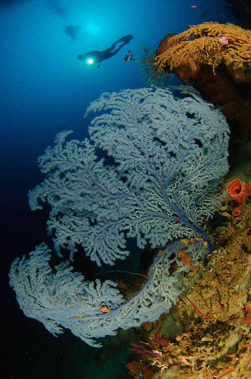 a very rare Blue Sea Fan, Acanthogorgia sp., found below 45 metres depth, with diver, Gorontalo, Indonesia