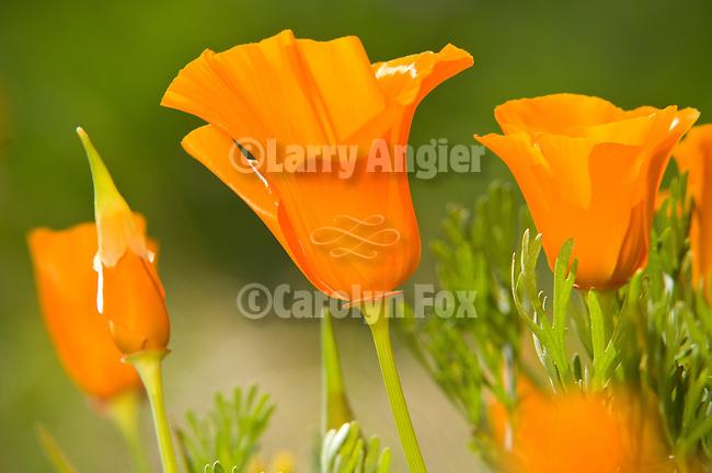 Golden poppy flowers in spring (Eschscholtzia california) near the Antelope Valley State Poppy Reserve near Lancaster, Calif.