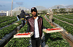 Palestinian farmers harvest strawberries at a farm in Beit Lahia, in the northern Gaza Strip, on December 1, 2018. Photo by Ashraf Amra