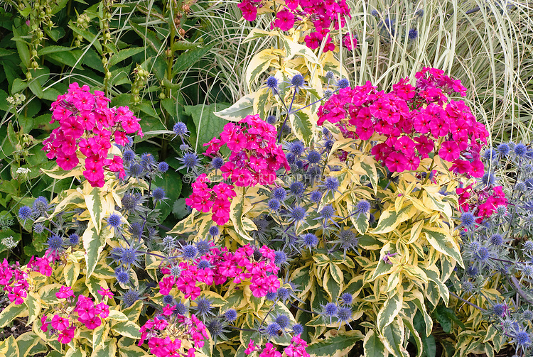 Eryngium planum Blaukappe & Phlox paniculata Goldmine with variegated foliage, plant combination in vivid neon pink magenta and blue flowers, with Miscanthus sinensis ornamental grass at rear 2-4-1 several plants together