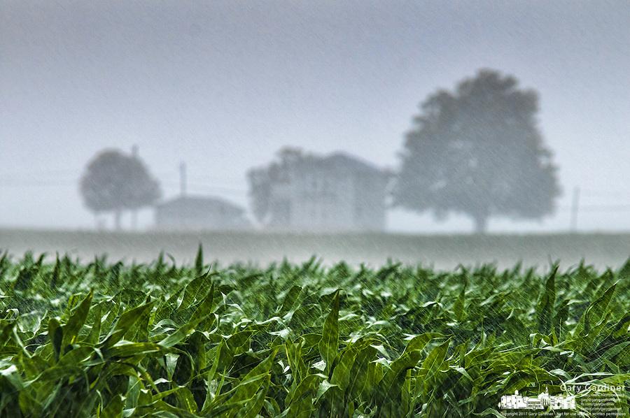 Rain  storm soaks field of corn on an Ohio farm..
