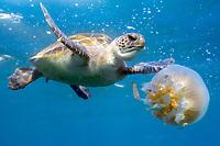 green sea turtle, Chelonia mydas, endagnered species, feeding on jellyfish, Julian Rocks, Byron Bay, New South Wales, Australia, Pacific Ocean