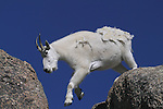 Mountain Goat (Oreamnos americanus) on the summit of Mount Evans (14250 feet), Rocky Mountains, west of Denver, Colorado, USA Private photo tours to Mt Evans. .  John leads private, wildlife photo tours throughout Colorado. Year-round.