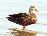 Male mottled duck