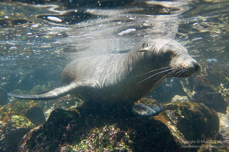 South Plazas Island, Galapagos, Ecuador; Galapagos Sea Lion (Zalophus wollebaeki) just under the water's surface near the volcanic rocks of the shoreline , Copyright © Matthew Meier, matthewmeierphoto.com All Rights Reserved