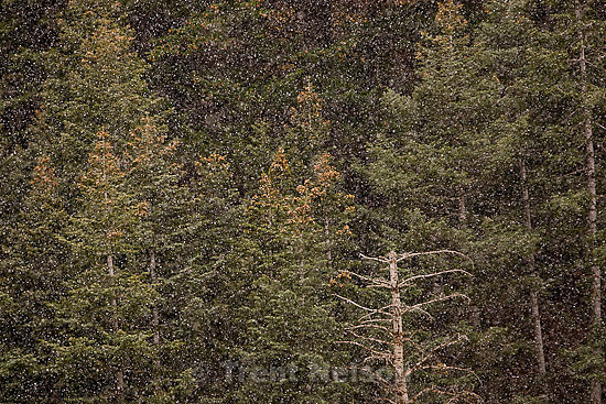 Trent Nelson  |  The Salt Lake Tribune.Snow falls on pine trees in Big Cottonwood Canyon Tuesday, October 25, 2011 on the perks and pitfalls of credit.