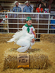 A turkey up for auction, 54th annual Junior Livestock Auction during Sunday at the 80th Amador County Fair, Plymouth, Calif.<br /> .<br /> .<br /> .<br /> .<br /> #AmadorCountyFair, #1SmallCountyFair, #PlymouthCalifornia, #TourAmador, #VisitAmador