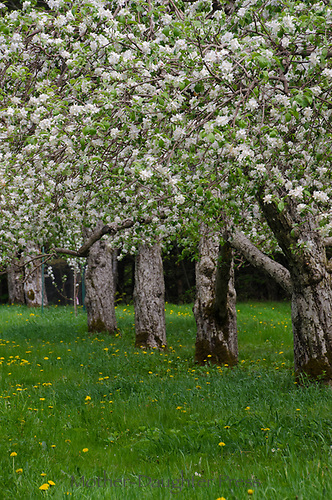 Hansel's orchard, North Yarmouth Maine in spring, USA