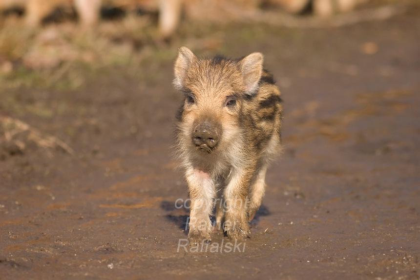 Germany, DEU, Arnsberg, 2005-Feb-07: A  young wild boar (sus scrofa), about two weeks old, exploring the Wildwald Vosswinkel preserve.