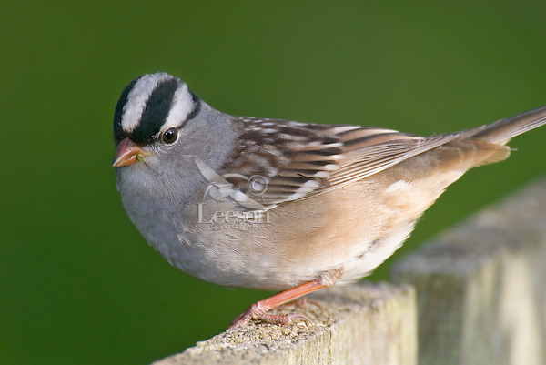 White-crowned Sparrow (Zonotrichia leucophrys) on backyard fence.
