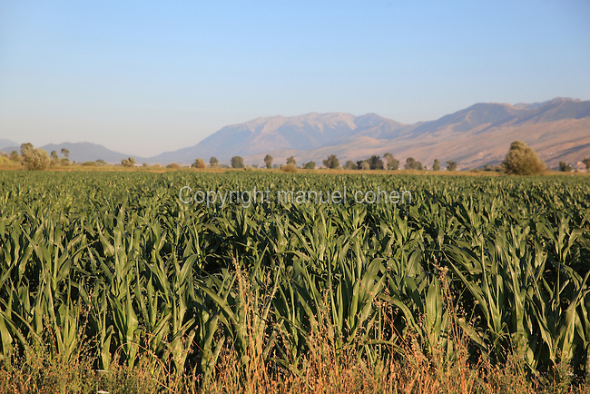 Maize field in the countryside near the town of Gjirokastra, with mountains in the distance, Gjirokastra County, Albania. Picture by Manuel Cohen