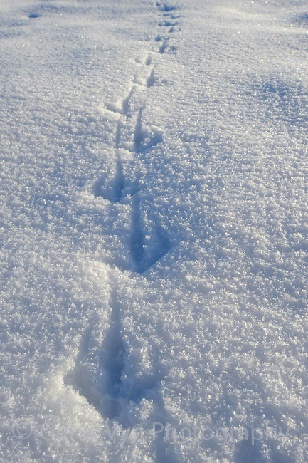 Greater Sage-Grouse tracks in snow. Conservation of grouse often centers on the locations of their leks but protecting winter habitats is equally as important. Freemont County, Wyoming.