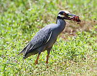 Adult yellow-crowned night-heron preparing to swallow crayfish
