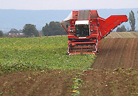 Contractors Metcalfe Farms of Leyburn, North Yorkshire sugar beet harvesting on Frank Ward's Manor House Fram, Dishforth, Thirsk, North Yorkshire. The Grimme Maxtron 620 six row harvester is the only one in the UK.
