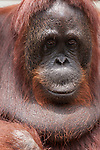 Bornean Orangutan (Pongo pygmaeus wurmbii) - Siswi the Queen of the jungle of Camp Leakey.
