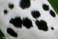SH24-005b  Dog - Dalmatian showing close-up of spots