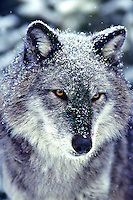 Gray Wolf (Canis lupus) dusted with snow.