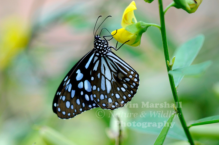 Blue Tiger Butterflies (Tirumala hamata) -  have pale blue patterns on black background on their wings.