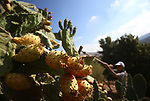 A Palestinian man picks prickly pear fruit at his field during the harvest season in the West Bank village of Lubban Ash-Sharqiya near Nablus on  August 17, 2017