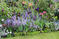 Nepeta catmint, Papaver poppy, Rosa rose, Lilium lilies, irises in bud, sagina, bellis, euphorbia, astrantia, ajuga burgundy glow, osteospermum, lawn grass, garden bed in blues and purples color coordinated theme of annuals, perennials, bulbs in late spring May June garden