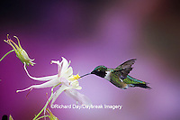 01162-074.11 Ruby-throated Hummingbird (Archilochus colubris) male on McKana's Hybrid Columbine (Aquilegia x hybrida) Shelby Co.  IL