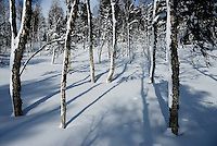 Betula forest